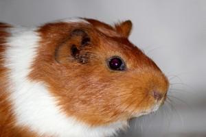 guinea-pig-1313465_960_720